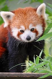 red-panda2.jpg?w=690