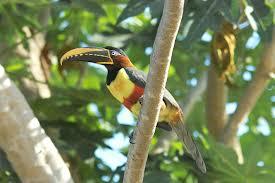 chestnut eared aracari3