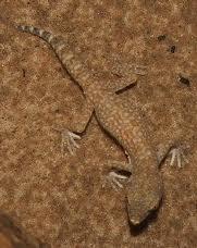 elegant sand gecko2