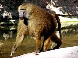 guinea baboon2