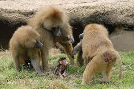 guinea baboon3