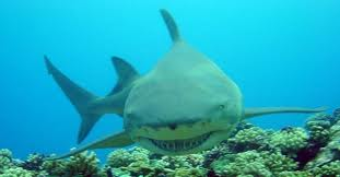 lemon shark3