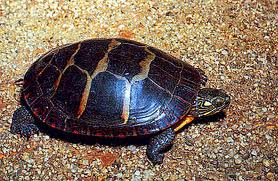 painted turtle2