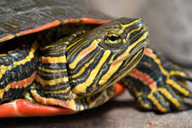 painted turtle3