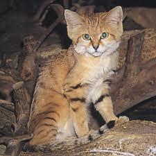 sand cat2