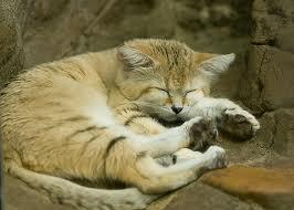 sand cat3