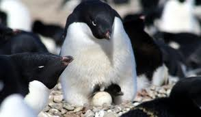 adelie penguins3