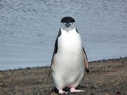 chinstrap penguin2