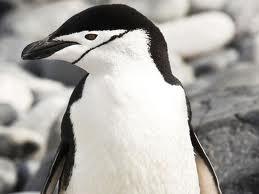 chinstrap penguin3