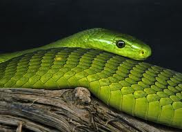 east african green mamba2