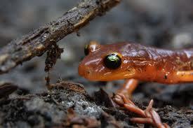 ensantina salamander2