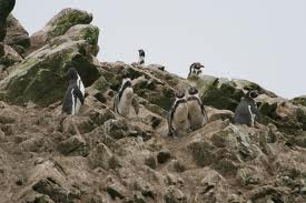 humboldt penguin2