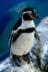 humboldt penguin3