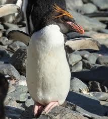 macaroni penguin3
