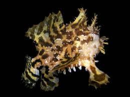 sargassum fish2