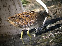 spotted crake2