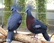 Victorian Crowned Pigeon!http://wp.me/p1Gkpi-am