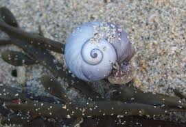 violet sea snail