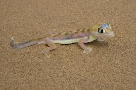 web footed gecko2