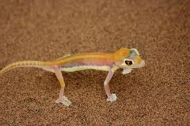 web footed gecko3