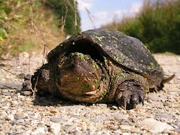 common snapping turtle2