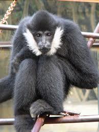 crested gibbon3