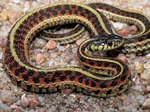 garter snake4