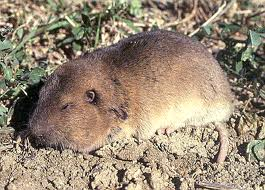 giant pocket gopher3