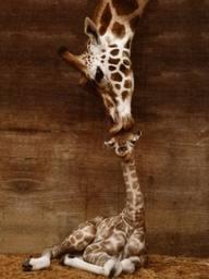 giraffeval