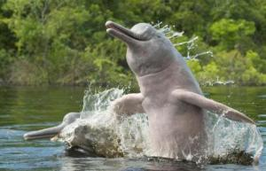 grey river dolphin3