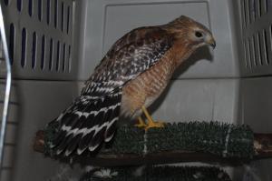 Hawk getting help!