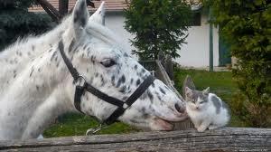 horsecatval