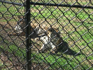 These ladies came from a circus, where they lived in a tiny enclosure! They have a HUGE enclosure now!