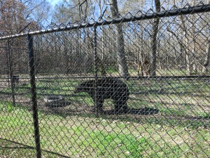 Bear!