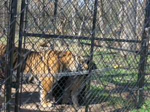 Doc the tiger came to Noah's Ark as a cub at the same time Ann the bear did. They were raised together for company and now are best friends!
