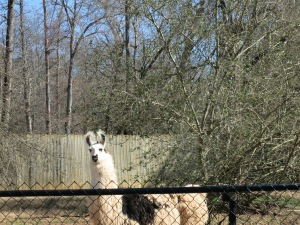 Matriarch of the Llama heard. They get to free range around the property too.