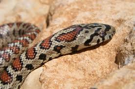 leopard snake2