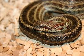 leopard snake3