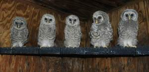 Owl chicks Monteen worked to reintroduce into the wild!