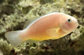 pink skunk clownfish2