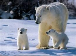 polar bear8