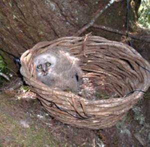 Owl in a basket