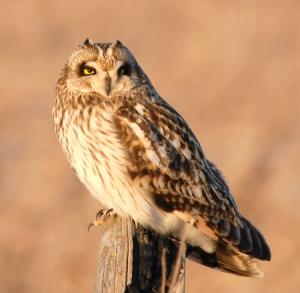 Short-eared Owl2