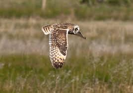 short eared owl3