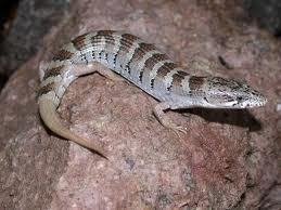 arizona alligator lizard