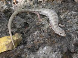 arizona alligator lizard2