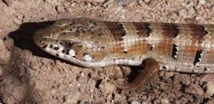 arizona alligator lizard3