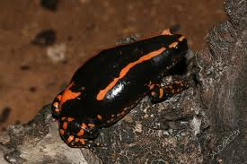 banded rubber frog2