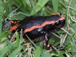 banded rubber frog3