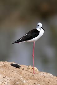black winged stilt3